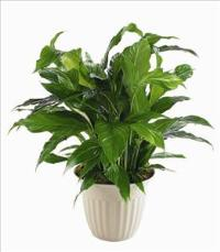 """Peace Lily"" Spathiphyllum Plant by US Teleflorist .com- Associated with other USA Teleflorists"