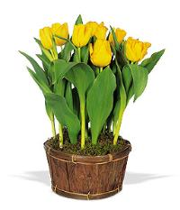 Potted Yellow Tulips by US Teleflorist .com- Associated with other USA Teleflorists
